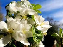 Apple Blossoms. Apples blossoms in the spring Royalty Free Stock Image