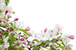 Apple blossoms background Stock Images