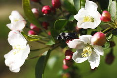 Apple blossoms,and bee. Macro photographed in daylight apple tree, spring branch, and bee royalty free stock image