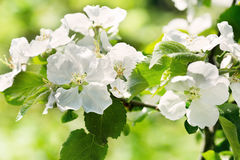 Apple blossoms branch Stock Image