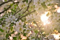 Apple blossoms in apple branches with green leafs with sun and sunlight in background stock photos
