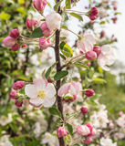 Apple blossoms and buds in springtime Stock Photo