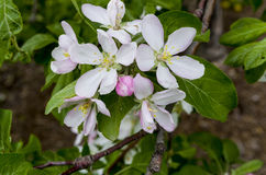 Apple blossoms Stock Photography