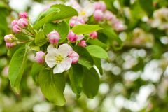 Apple blossoms close up . Apple tree blossoms with pink petals on a branch royalty free stock photos