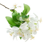 Apple blossoms closeup. Apple blossoms isolated on a white background Royalty Free Stock Photography