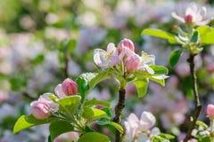 Apple blossoms closeup Stock Photography
