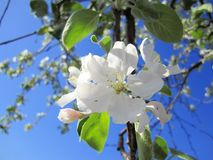 Apple blossoms. Closeup. White flower Stock Images