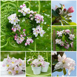 Apple blossoms collage Royalty Free Stock Image