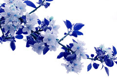 Apple blossoms colored in blue hues Stock Images