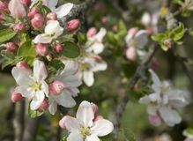 Apple blossoms detail Royalty Free Stock Photos