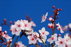 Apple blossoms in early spring. Shot in Larkspur, San Francisco Bay Area, California Royalty Free Stock Photos