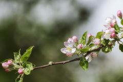 Apple blossoms in early spring royalty free stock photo