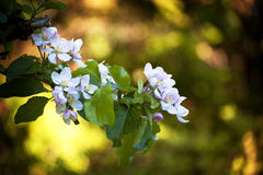 Apple Blossoms. Are the first sign of spring in the Pacific Northwest. Colorful and fragrant with the hope for some delicious and nutritious fruit Stock Image