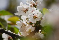 Apple blossoms. Flower seasons background Royalty Free Stock Image