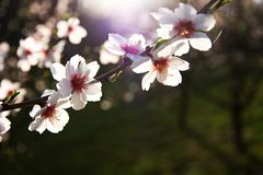 Apple blossoms. Flowering white crabapple blossoms in spring, blooming branch of apple backlit royalty free stock images