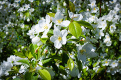 Apple blossoms. Flowers of the apple blossoms in Spring Stock Photo