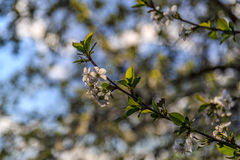 Apple blossoms in the garden. Spring landscape, Apple blossoms in the garden Stock Image