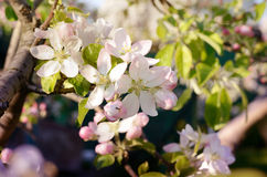 Apple blossoms in the garden under bright sunlight Stock Image