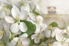 Apple blossoms with house in background Stock Photo