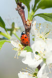 Apple blossoms ladybird Stock Image
