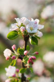 Apple blossoms in the light of the sun stock photo