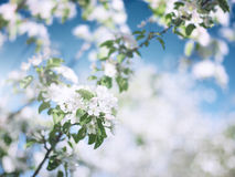 Apple Blossoms in May Royalty Free Stock Photo