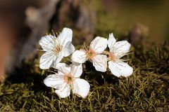 Apple Blossoms on Moss. Close-up of four white apple blossoms lying on a green moss covered tree branch, with a blurred green and brown background stock photos