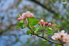 Apple blossoms in nature Stock Images