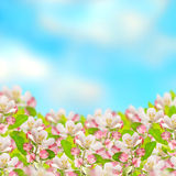 Apple blossoms over blurred blue sky background Royalty Free Stock Photo
