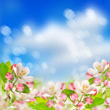 Apple blossoms over blurred blue sky background Stock Photo