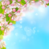 Apple blossoms over blurred blue sky background Stock Photography
