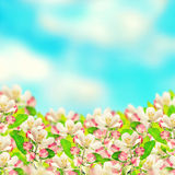 Apple blossoms over blurred blue sky background. Spring flowers Stock Photo