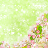 Apple blossoms over blurred green background Stock Photo