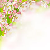 Apple blossoms over blurred nature background Royalty Free Stock Images