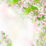 Apple blossoms over blurred nature background Royalty Free Stock Photos
