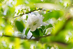 Apple blossoms over blurred nature backgroung Royalty Free Stock Photography