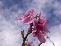 apple blossoms ping Royaltyfria Bilder