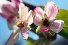 Apple Blossoms. Pink white apple blossoms blue sky Stock Photos