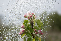 Apple blossoms and rain. Stock Images