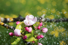 Apple blossoms and rain. Stock Image