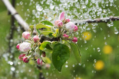 Apple blossoms and rain. Stock Photography