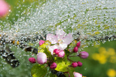 Apple blossoms and rain. Royalty Free Stock Photos