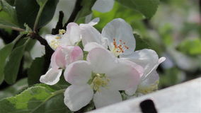 Apple blossoms on roof stock footage