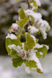 Apple blossoms in snow - Close-up Royalty Free Stock Photography