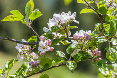 Apple blossoms in South Tyrol Royalty Free Stock Image