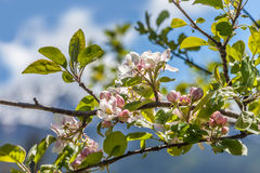 Apple blossoms in South Tyrol Royalty Free Stock Photo