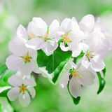 Apple blossoms in spring Royalty Free Stock Images