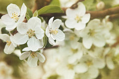 Apple blossoms in Spring Royalty Free Stock Photos