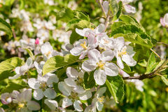 Apple Blossoms in Spring Royalty Free Stock Photography