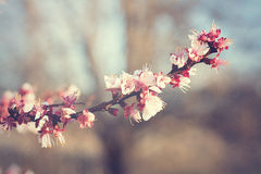 Apple blossoms in spring. Royalty Free Stock Photos